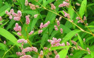 Горец почечуйный от геморроя: рецепты и состав растения